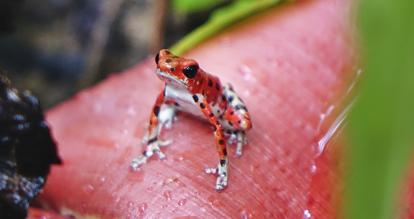 A strawberry poison frog, color morph red, sits on a leaf in a forest