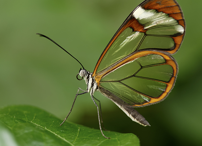 a black and orange butterfly with transparent wings in front of a green nature-y background