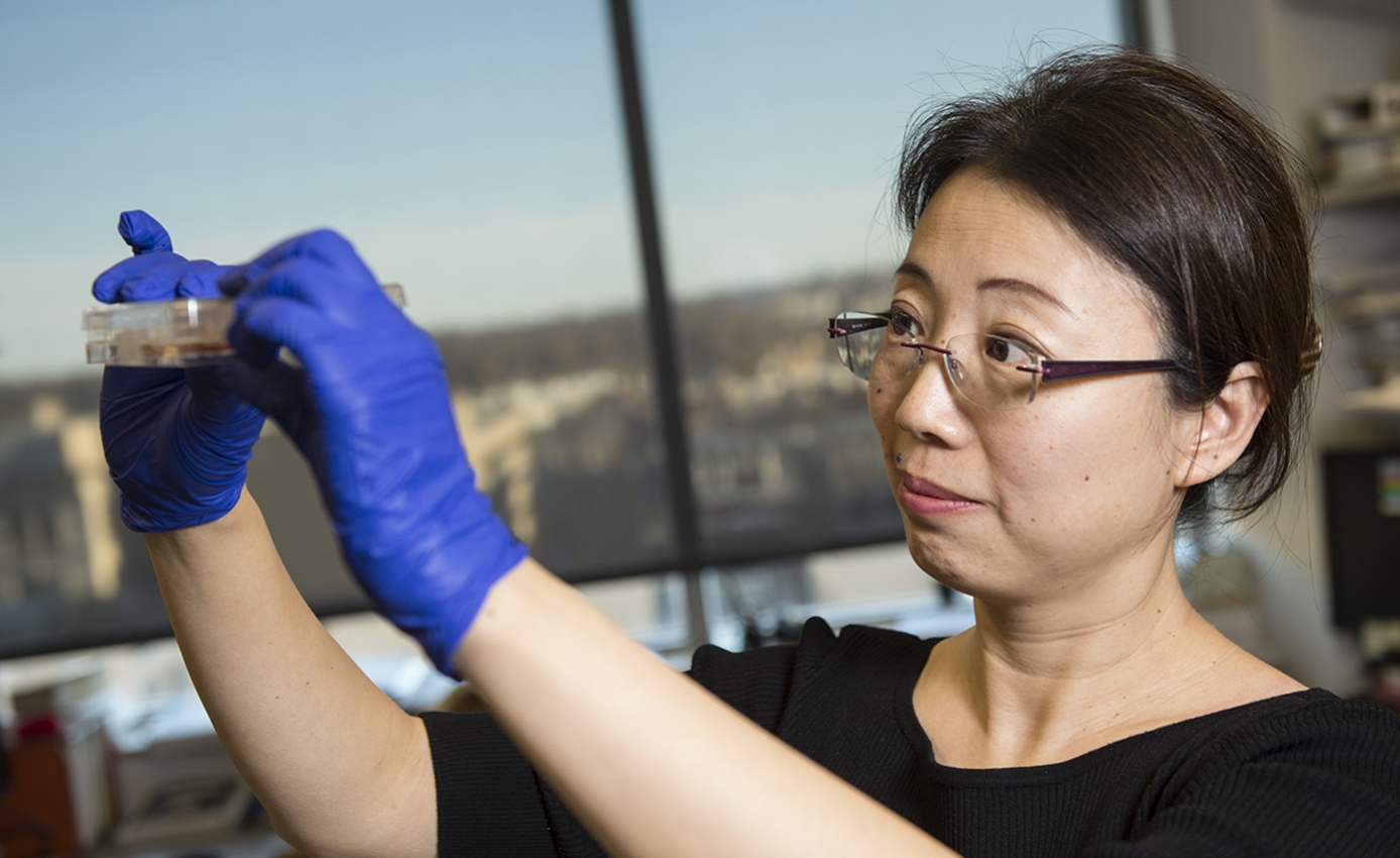 Bioengineer Xinyan Cui holding and looking at a cell culture well plate