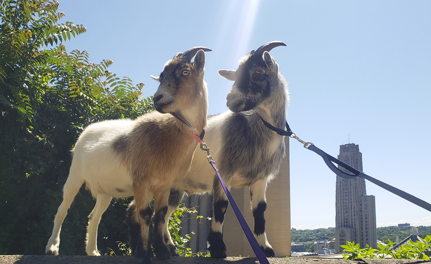 Two goats stand at top of hill with Cathedral of Learning in background