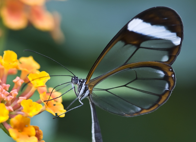 a butterfly with a black body and glassy wings at an orange flower
