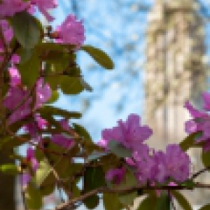 Image of spring flowers with the Cathedral of Learning distant in the background