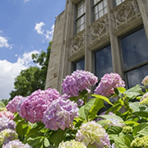 Pink hydrangeas in front of Cathedral of Learning windows, exterior