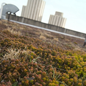 Plants growing on roof of Benedum Hall for green roof project, two buildings in background