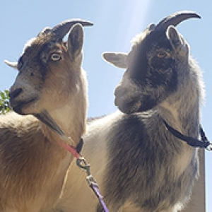 Two goats on leashes stand at the top of a hill overlooking Pitt campus with the Cathedral of Learning in the background