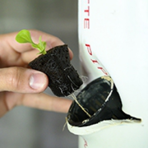 Lettuce seedlings in net cups in the hydroponics system