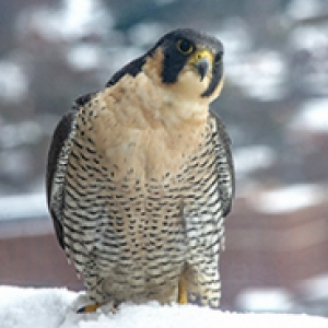 a falcon with her head slightly cocked