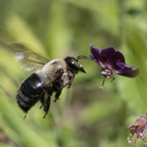 a bee approaching a purple flower