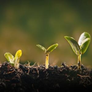 Three seedlings in the soil
